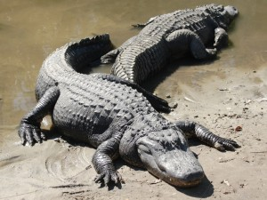Sunbathing Alligators
