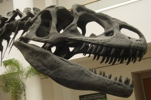 Allosaurus Skull: Some Dinosaurs Ate Rock
