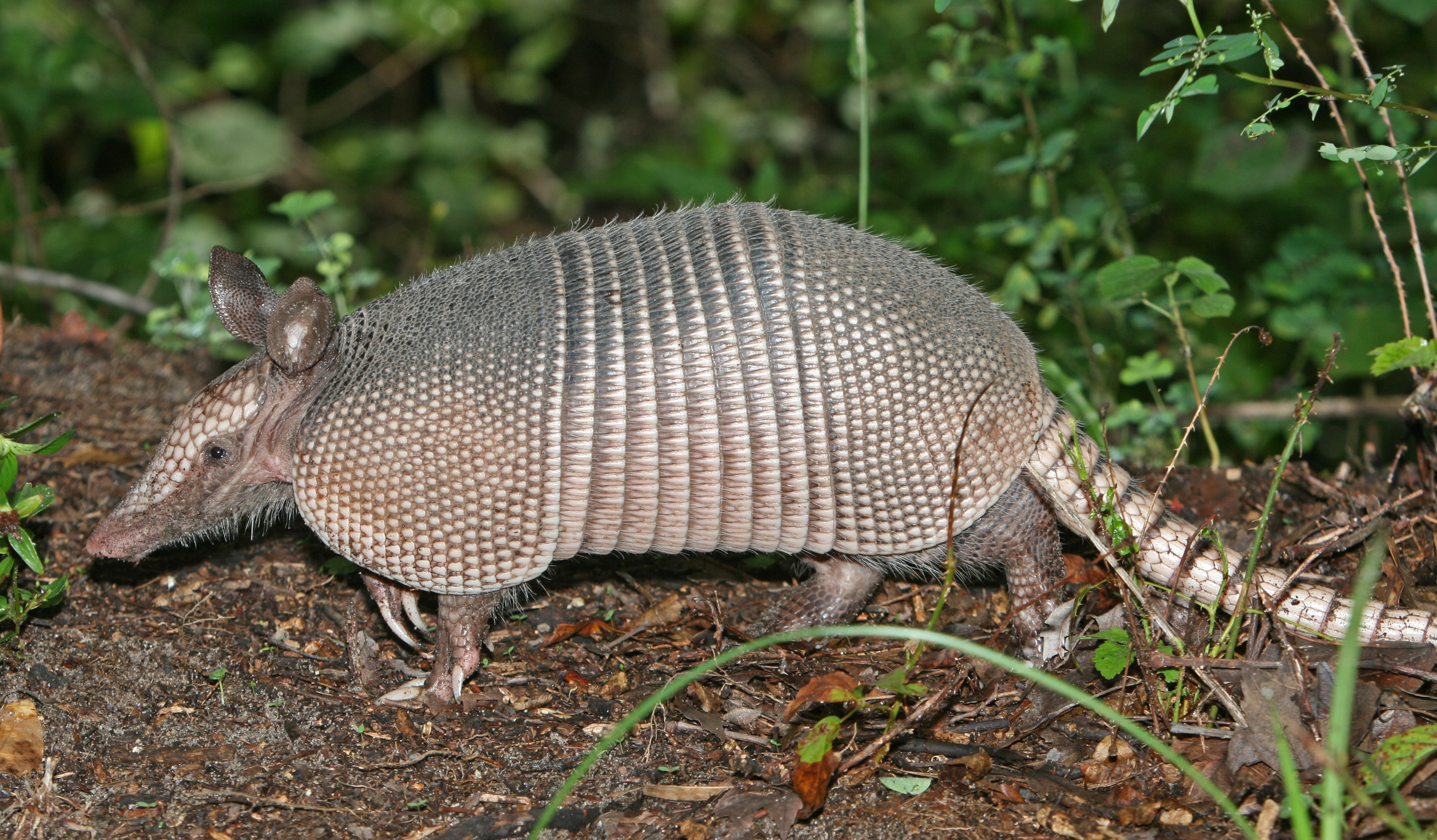 What Eats Armadillos