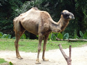 A One-Humped, Or Dromedary, Camel