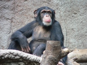 A Thoughtful Chimpanzee