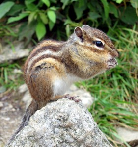 Chipmunks Have Many Natural Enemies