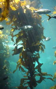 A Stand Of Kelp. What Eats Kelp?