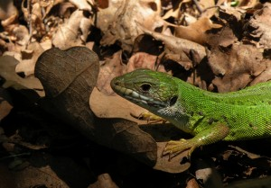 A Wary Green Lizard