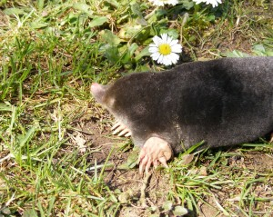 A Mole Enjoys The Sunshine