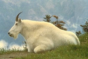 Not Much Eats A Mountain Goat