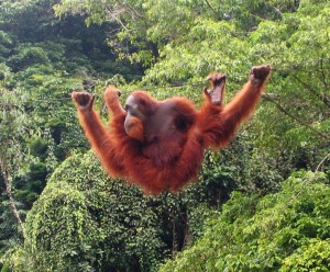 An Orangutan Dangling From A Rope