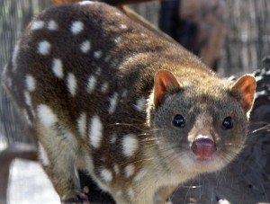 A Quoll Is An Animal From Australia and New Guinea