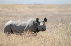 Rhinos Have Few Natural Enemies