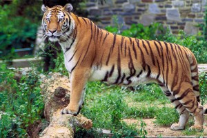 A Large Tiger