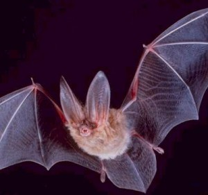 A Bat In Flight