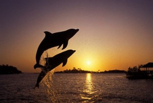 Leaping Dolphins: What Eats A Dolphin?