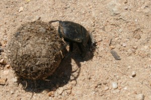 What Eats Poop? A Dung Beetle Does.