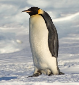 An Emperor Penguin On The Ice