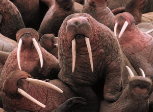 A Herd Of Walruses