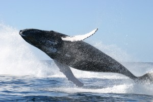 A Whale Jumping Clear Of The Water