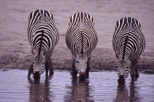 A Trio Of Zebras Drinking.