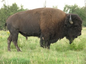 The Buffalo Is Also Called A Bison