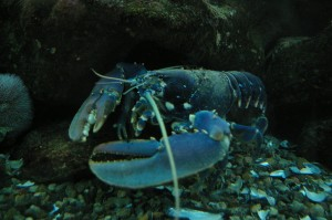 A Lobster Has Predators