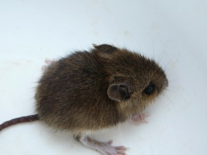 A Very Young Mouse