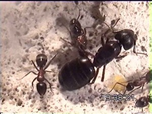 Queen Ant And Workers