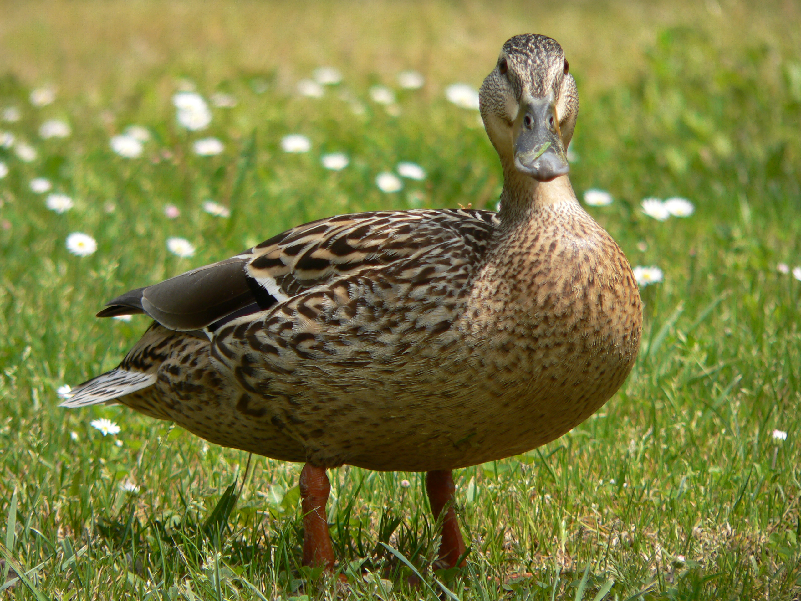 a mallard duck - Pictures Of Ducks