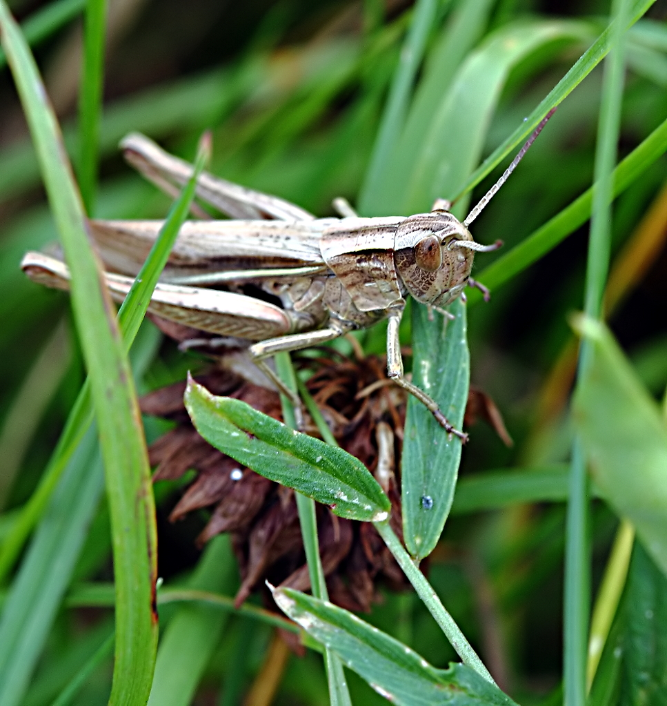 What do grasshoppers eat and drink - photo#12