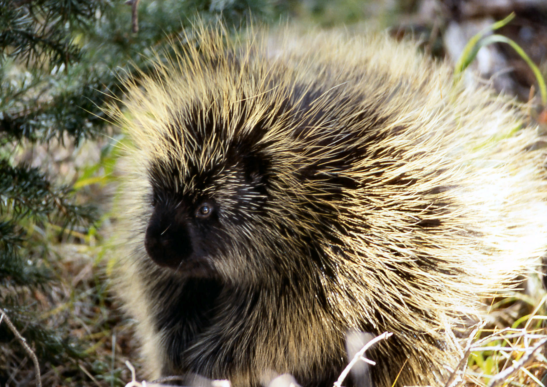 porcupine Porcupines show humans how design is done.