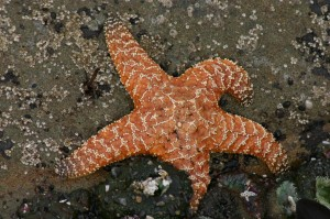 Starfish On The Ocean Bottom