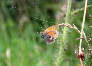 A Meadow Brown Butterfly (Britain) Trapped In A Spider Web. Photo: Anne Burgess