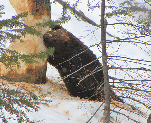 No, The Beaver Is Not EATING The Tree. Photo: D. Gordon E. Robertson