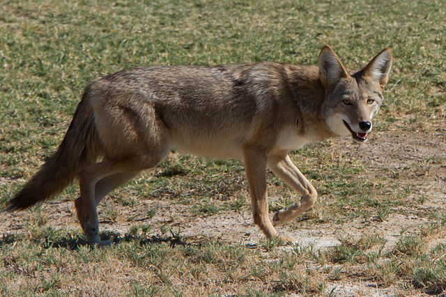 Coyotes Have Just One Predator To Fear . . . Photo:Dawn Beattie