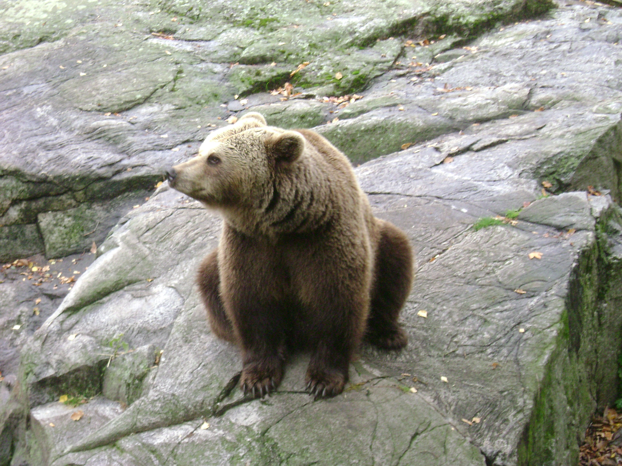 A Brown Or Grizzly Bear