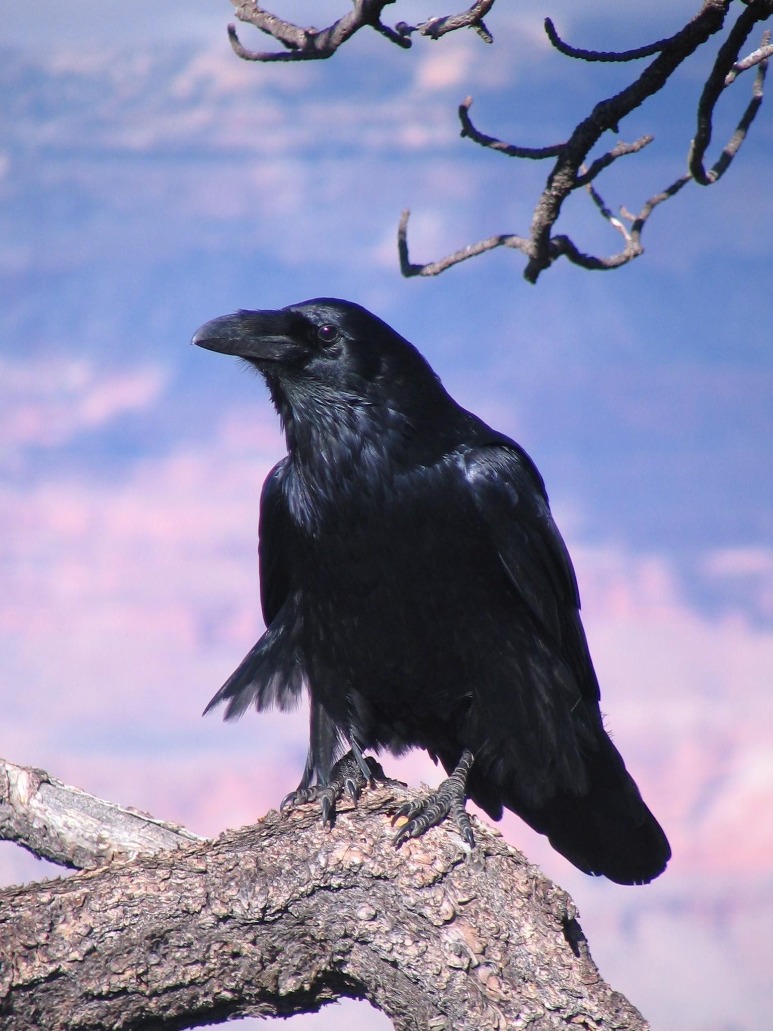 A Vigilant Crow